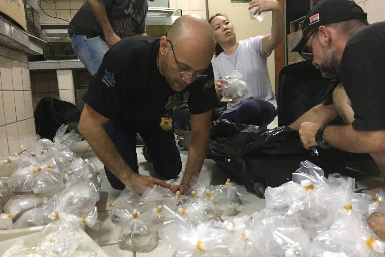 Peixes em extinção contrabandeados em Manaus