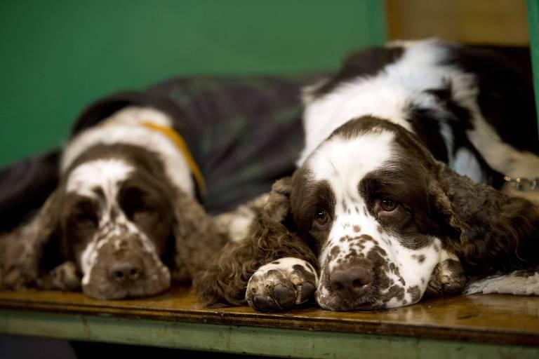 Cães descansam em dia de competição canina na Inglaterra