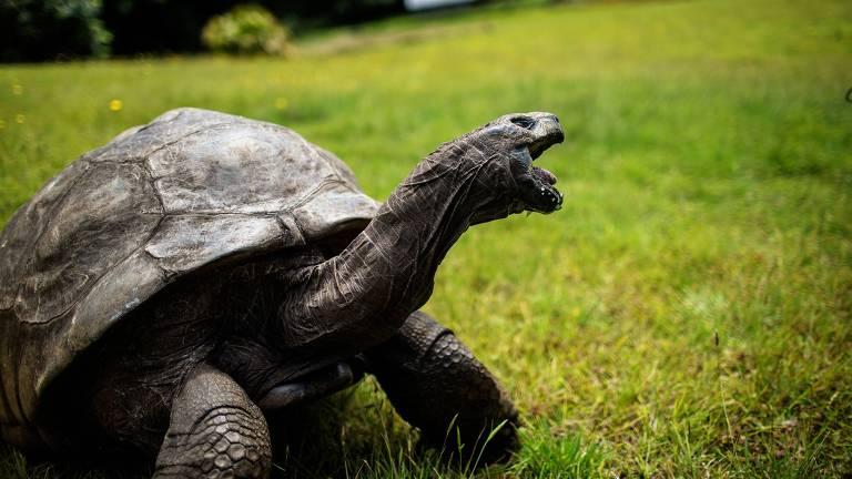 Jonathan,a tartaruga gigante mais velha do mundo, na grama da mansão do Governador da ilha de Santa Helena.