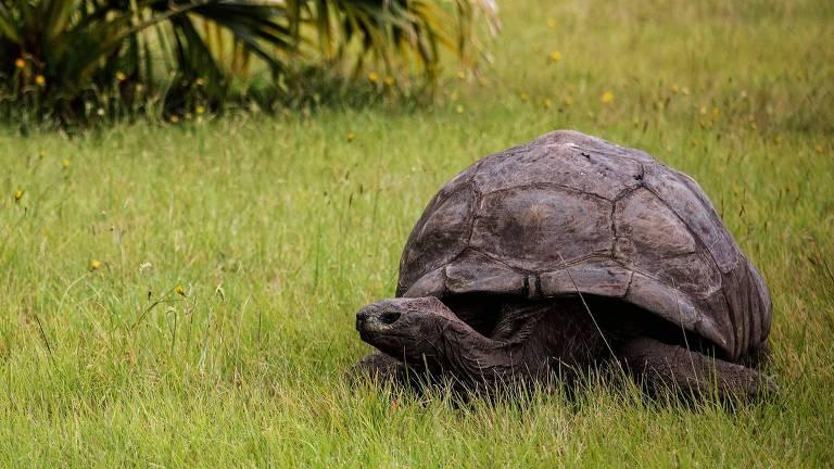 Com 186 anos, Jonathan, a tartaruga mais velha do mundo, recebeu a maior revelação de sua vida: sua parceira há 26 anos, na verdade, era um parceiro.