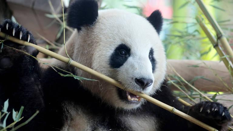 Meng Meng, uma panda chinesa, no Zoológico de Berlim, na Alemanha