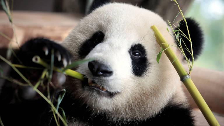 Por ser uma pandinha adolescente, Meng Meng pderá liberar sua energia sexual quando tiver contato, durante o período fértil, com outros pandas.