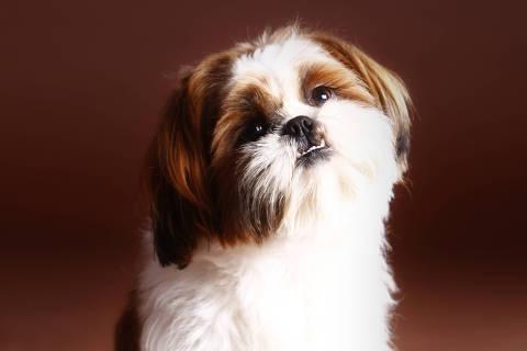*** DOG** Lion dog or shih tzu breed poses happy in studio with brown background. Credit Monica / Fotolia DIREITOS RESERVADOS. NÃO PUBLICAR SEM AUTORIZAÇÃO DO DETENTOR DOS DIREITOS AUTORAIS E DE IMAGEM