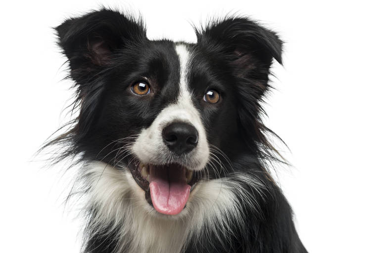 Border é considerado um dos cães mais inteligentes