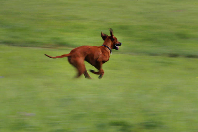 Cães brincam na grama