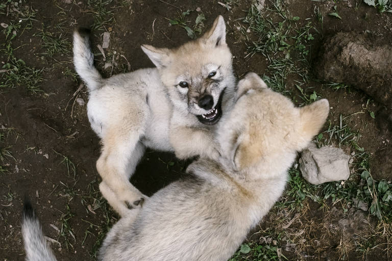 Filhotes de lobos