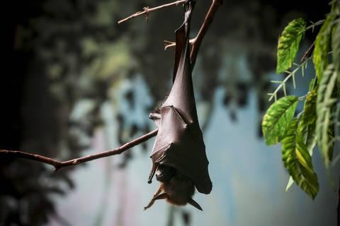 SAO PAULO, SP, BRASIL. 12-06-2015. 14h23min57s. Especial sobre habitos de morcegos em areas urbanas. Morcegos Raposas Voadoras originarios do sudeste asiatico no morcegario do aquario de São Paulo. (foto: Rubens Cavallari/Folhapress, NAS RUAS, ****ESPECIAL****). ***EXCLUSIVO AGORA***EMBARGADA PARA VEICULOS ON LINE***UOL E FOLHA.COM E FOLHAPRESS CONSULTAR FOTOGRAFIA DO AGORA SÃO PAULO***f: 3224-2169, 3224-3342 . *filename:(3373EdftRFC_2802) OK.jpg* ORG XMIT: (3373EdftRFC_2802) OK.jpg