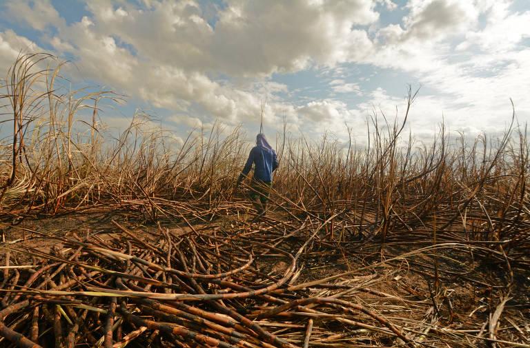Trabalho escravo de colhedores de cana na Bahia