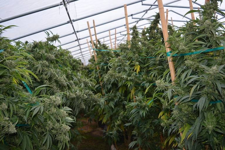 150983113859fe31e2a1619 1509831138 3x2 md Triângulo Esmeralda: cultivo legal fomenta economia de cidades californianas