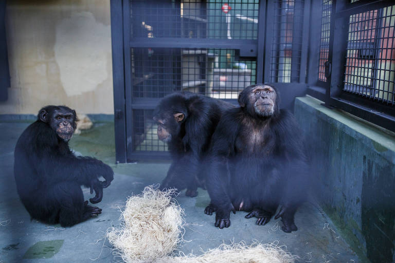 Jabari and other former research chimpanzees explore their new home at the Project Chimps, a sanctuary in Morgantown, Ga.