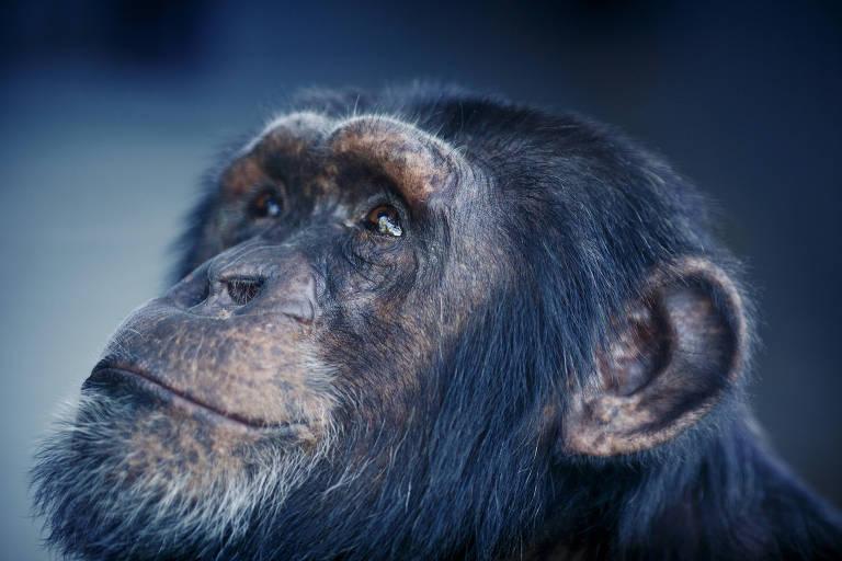Chimpanzés de casa nova