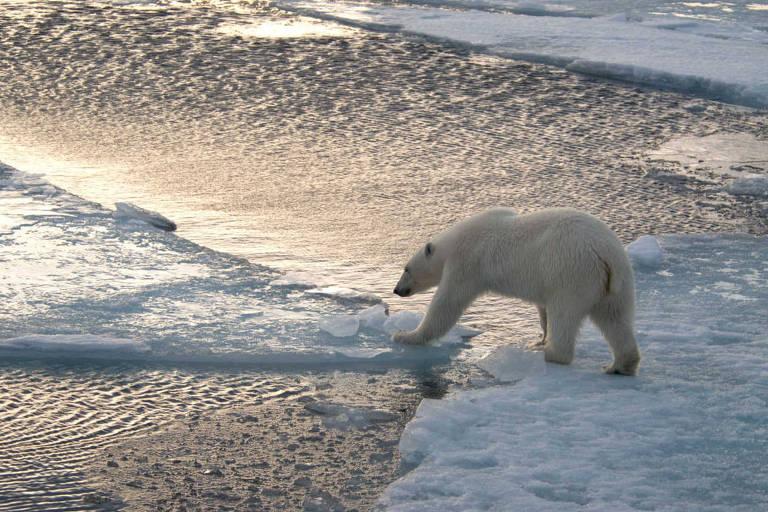 Urso polar atravessa blocos de gelo