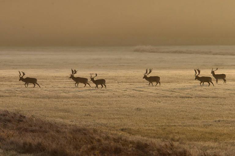 Cervos passeiam enquanto o sol nasce perto de Frankfurt, Alemanha