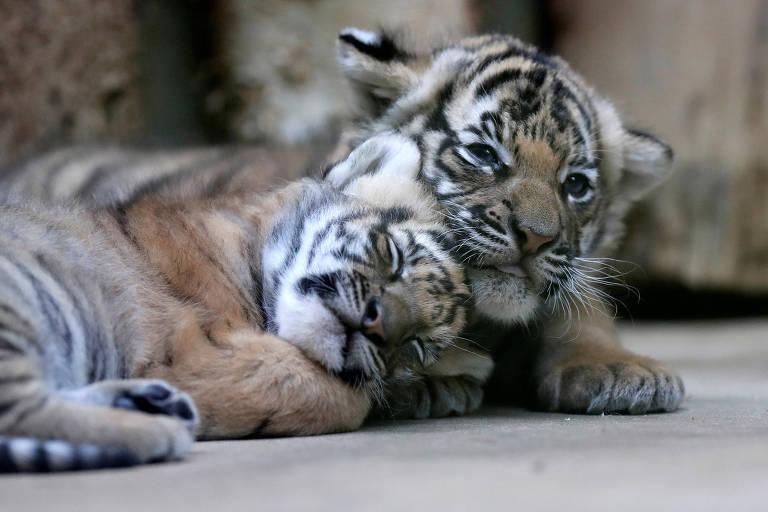 Tigres da República Tcheca