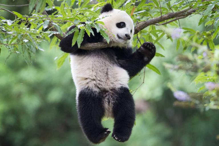 Lugares para ver pandas no mundo