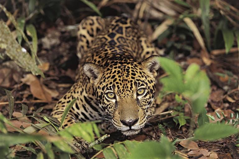 Jaguaretê