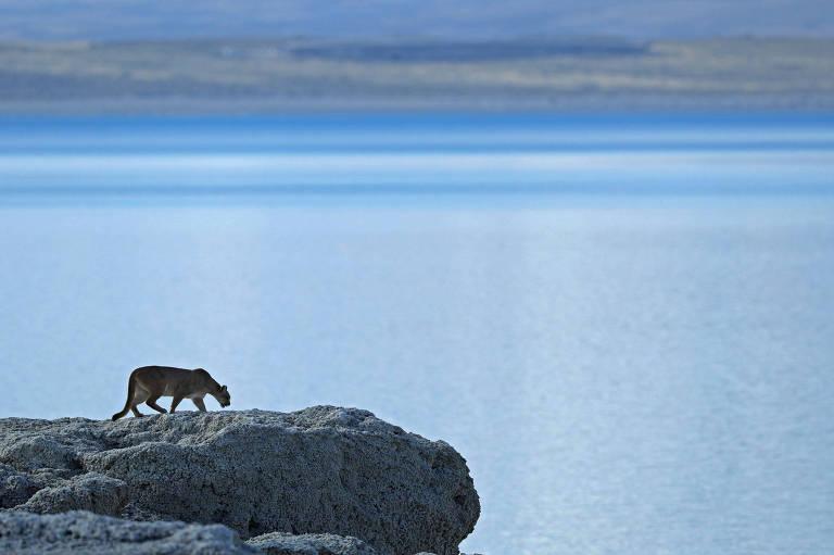 Pumas na Patagônia, por João Marcos Rosa