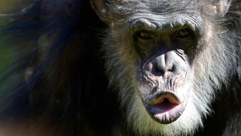 O que os políticos podem aprender com os chimpanzés?