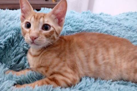 O gatinho Simba, disponível para adoção na ONG Catland