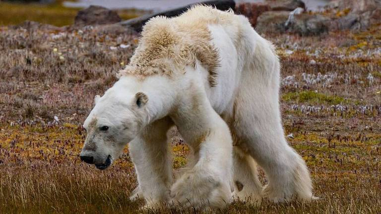 Em imagem feita pela fotógrafa Cristina Mittermeier um urso polar cambaleia de fome no Canadá