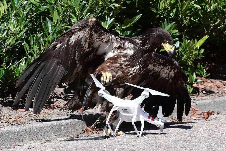 Águia usada para captuar drones