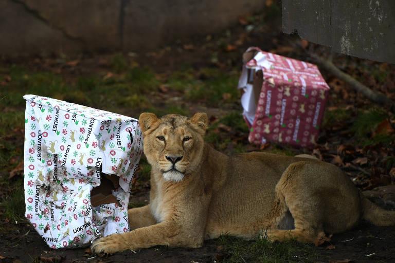 Leoa recebe presente de Natal no zoológico de Londres