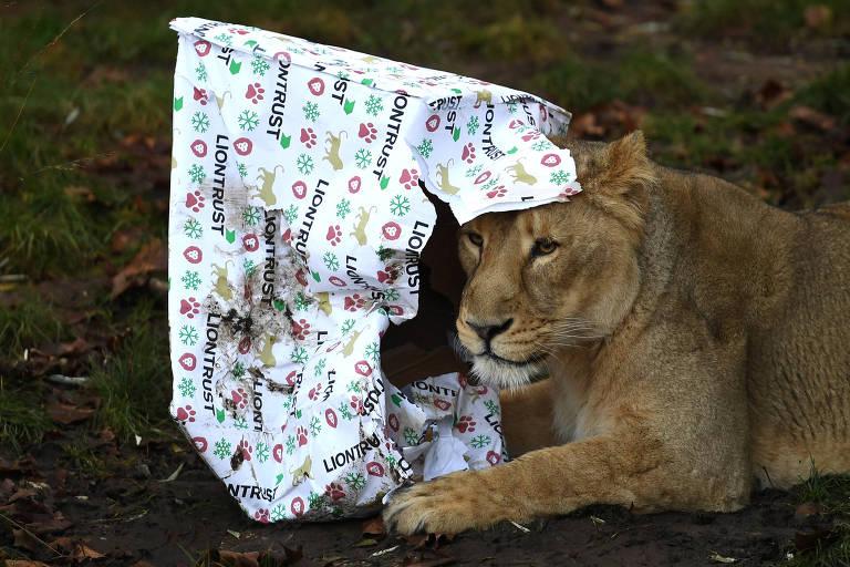 Leões brincam com presentes natalinos no zoológico de Londres