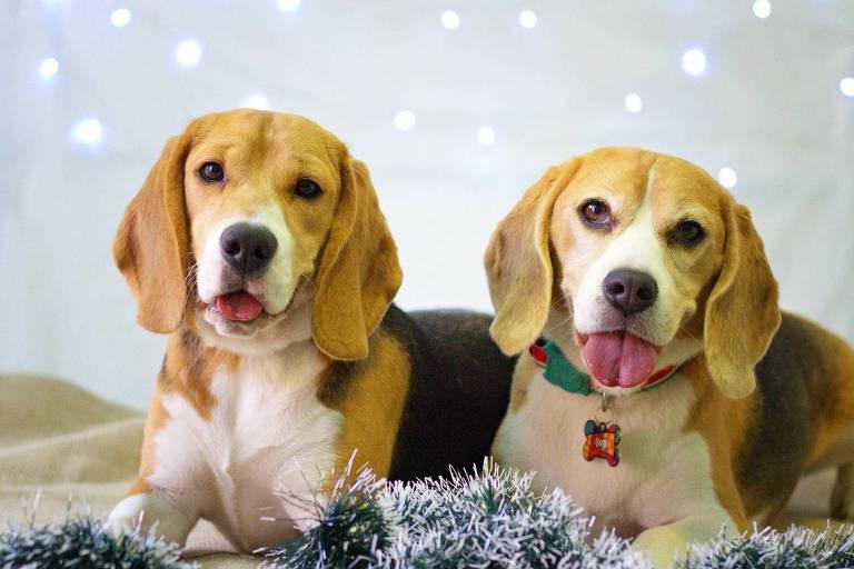 Encontro de beagles em BH