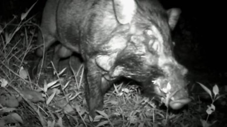 Cientistas registram pela 1ª vez imagens de 'porco mais feio do mundo' na natureza