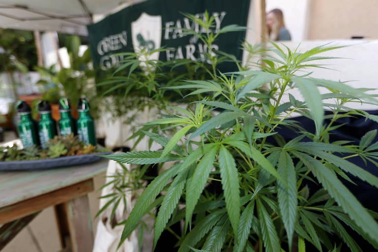 Plantas de cânabis são exibidas em feira agrícola; uso recreativo na Califórnia passa a ser legal nesta segunda