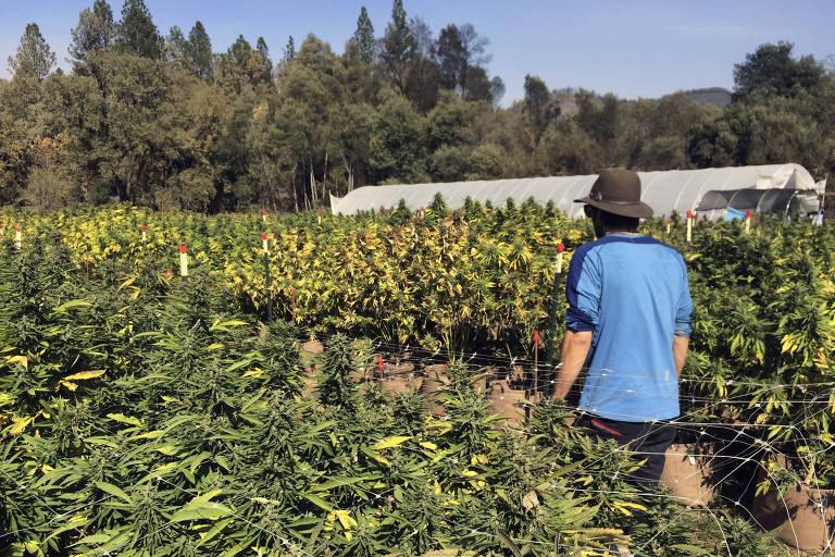 Cultivo de maconha em Glen Ellen, na Califórnia; investidores temem mudança em regras federais