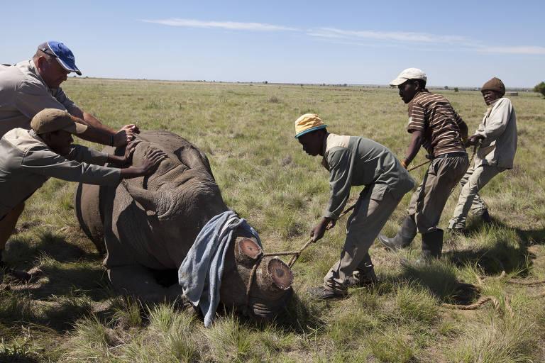 Homens tentam levantar rino que foi sedado e teve chifre retirado para evitar a caça ilegal
