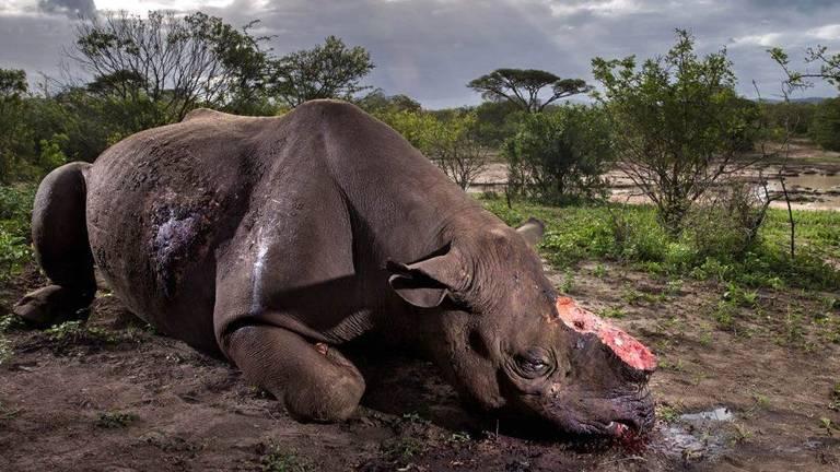 Caça a rinocerontes