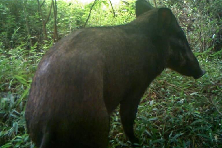 'Porco mais feiro do mundo' visto na Indonésia