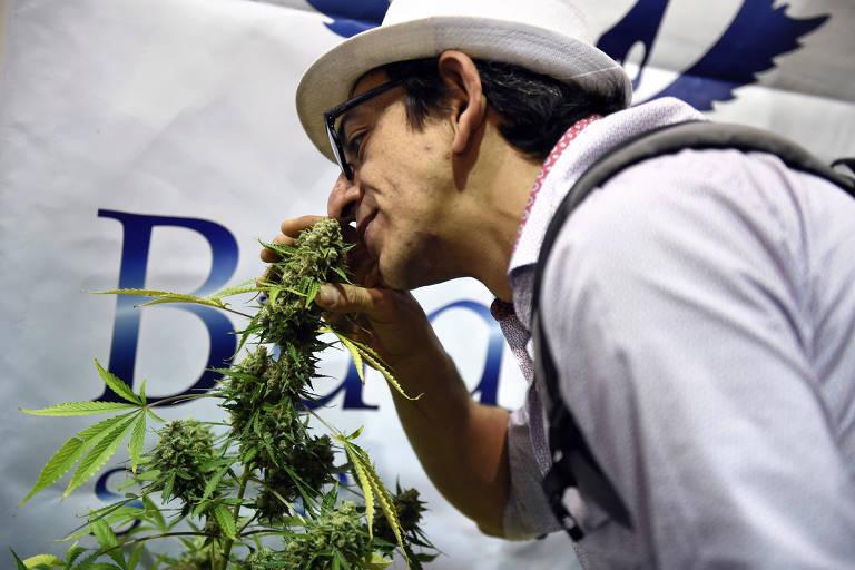 Visitante cheira as flores uma planta de cânabis em um evento sobre maconha em Montevidéu