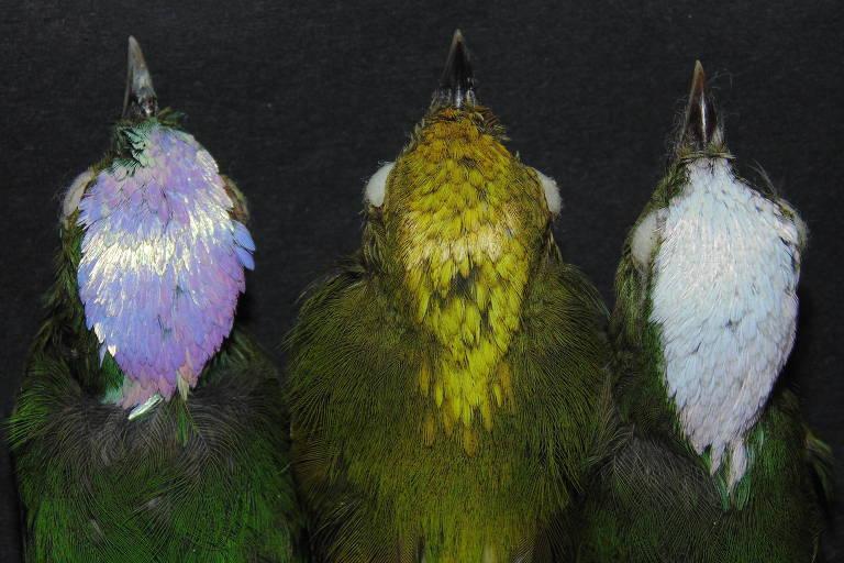 Comparação _Lepidothrix vilasboasi_ com as espécies irmãs _L. iris_ (esquerda) e _L. nattereri_ (direita)