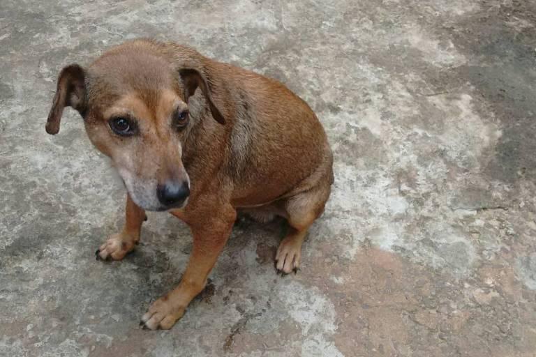 Após Justiça aceitar recurso, cachorro Bolinha faz tratamento contra leishmaniose no interior de SP