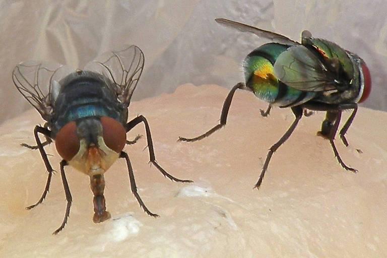 Os cientistas capturaram as moscas para examinar os organismos presentes nelas