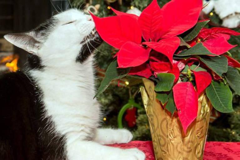 Bicos-de-papagaio, plantas que costumam adornar as casas no Natal, são perigosas para cães e gatos