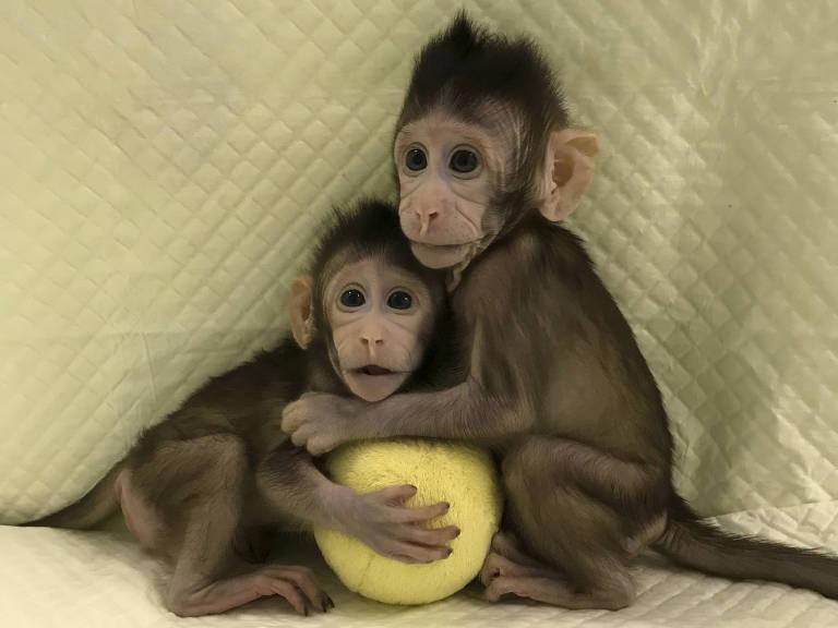 As macaquinhas clonadas Zhong Zhong e Hua Hua