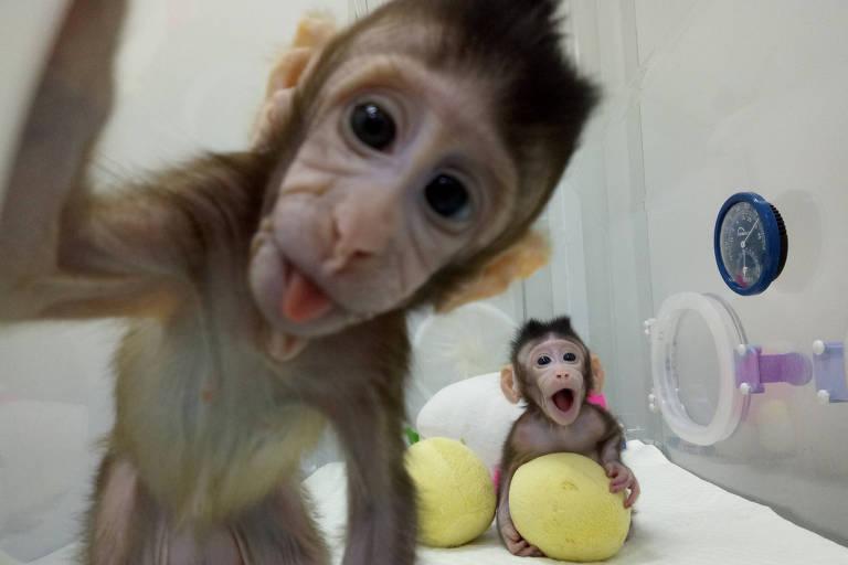 Macacas clonadas Zhong Zhong e Hua Hua, primeiros primatas a nascerem por meio da técnica