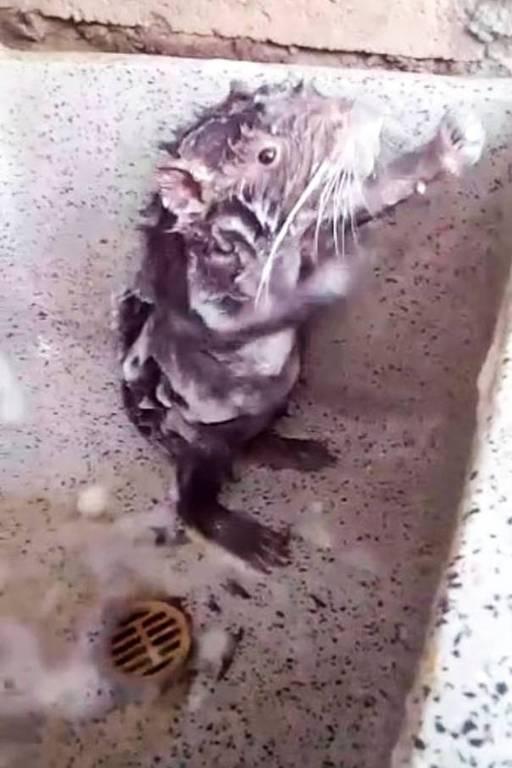 Vídeo de rato 'tomando banho' divide internautas: farsa, fofura ou crueldade animal?