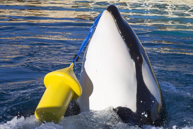 Wikie, uma fêmea orca de 16 anos