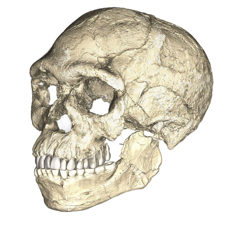 Crânio reconstruído com base em fósseis encontrados