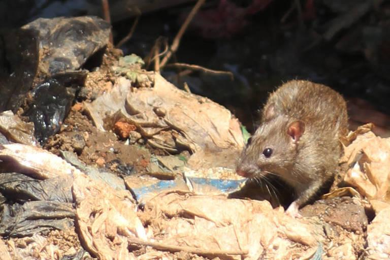 Rato revira lixo em Madagáscar: Telefónica vai produzir série sobre peste bubônica