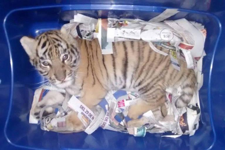 Filhote de tigre é enviado pelos correios no México
