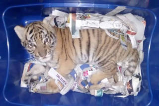A baby tiger is seen after intercepted from being mailed inside Mexico, in Tlajomulco De Zuniga, Jalisco