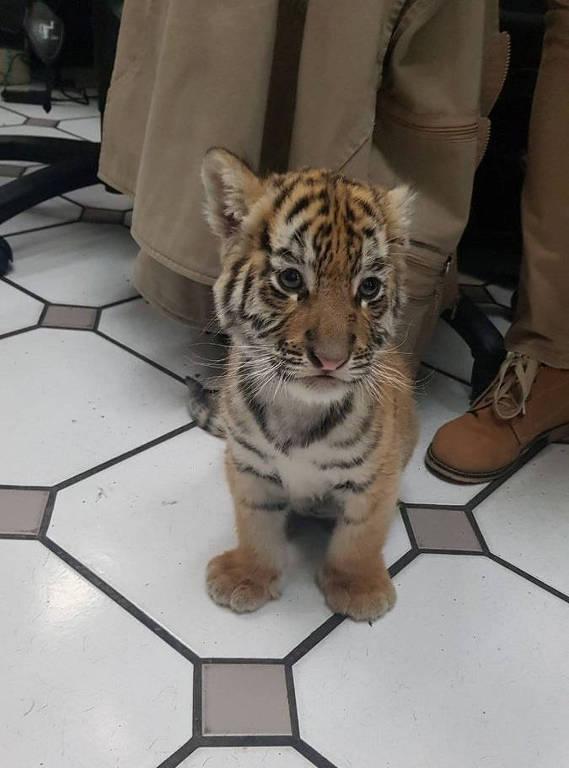 Filhote de tigre enviado pelo correio
