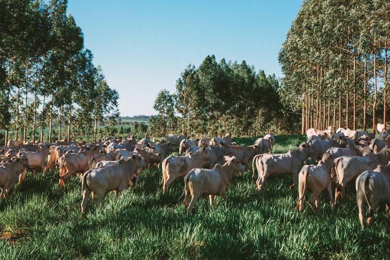 Gado em pasto da Fazenda Uberaba: Indonésia vai abrir mercado de carne para o Brasil
