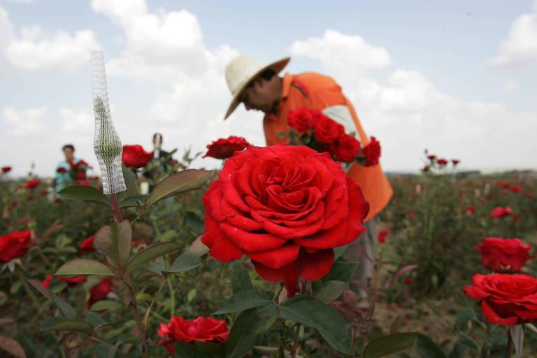 1ª Rosas: Holambra é a maior produtora de rosas do país